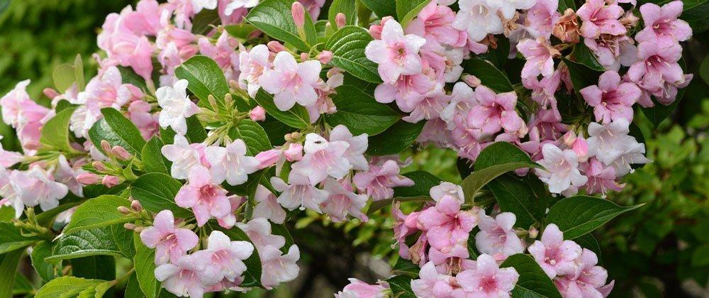 flowering shrub weigela