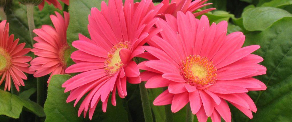 gerbera daisy pink ted lare design & build