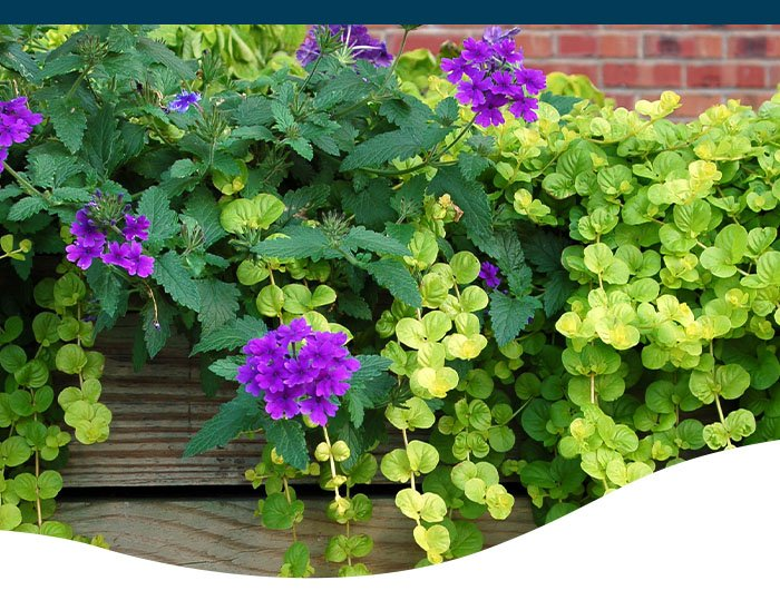 trailing verbena and creeping jenny ted lare design & build