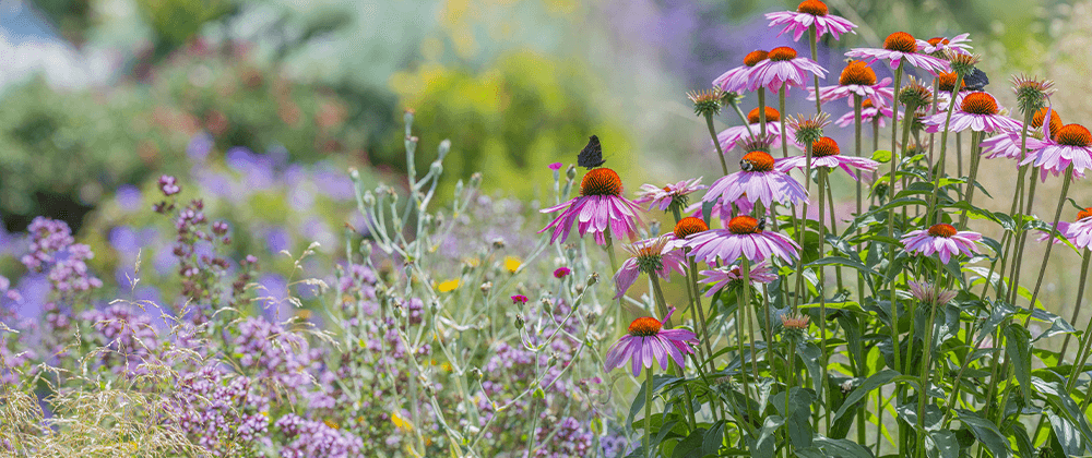 butterfly garden with coneflower