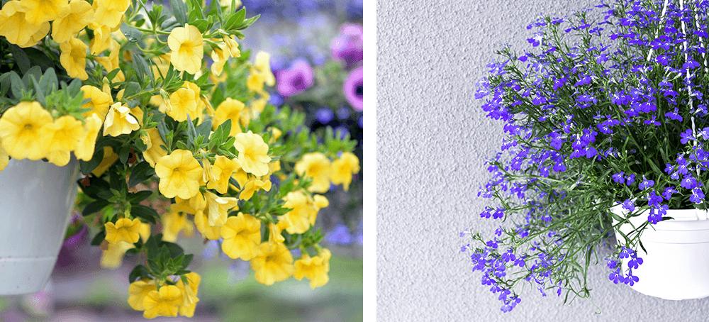 calibrachoa and lobelia annuals