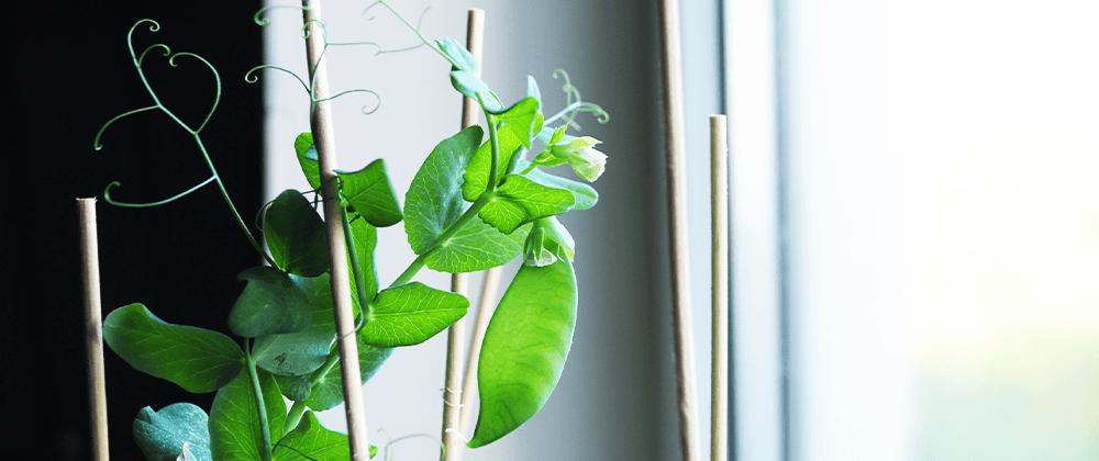 pea plant growing vegetable