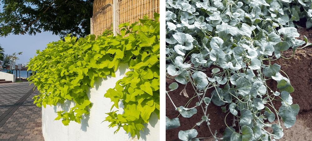 potato vine and dichondra ted lare design & build