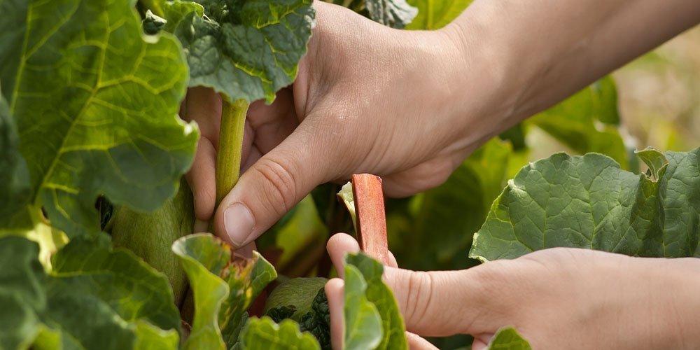 harvesting rhubarb plant
