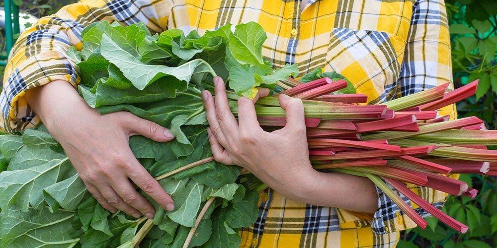 rhubarb in hands