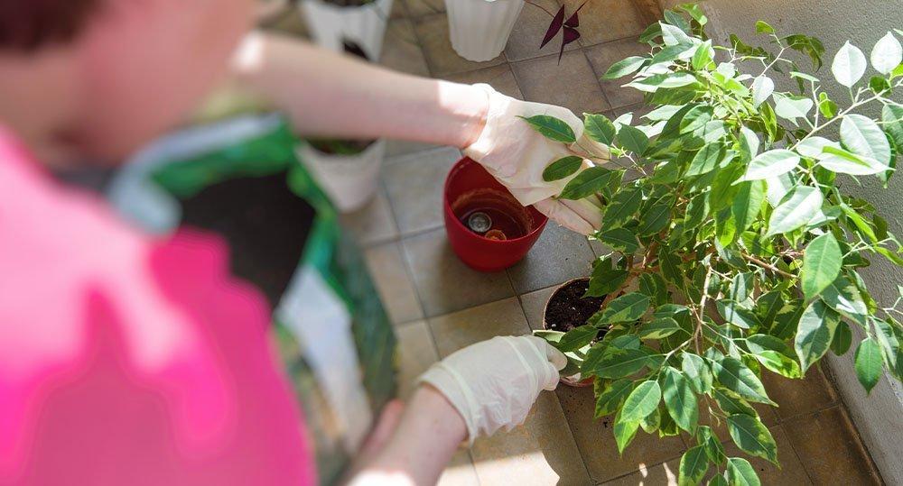 ficus benjamina houseplant
