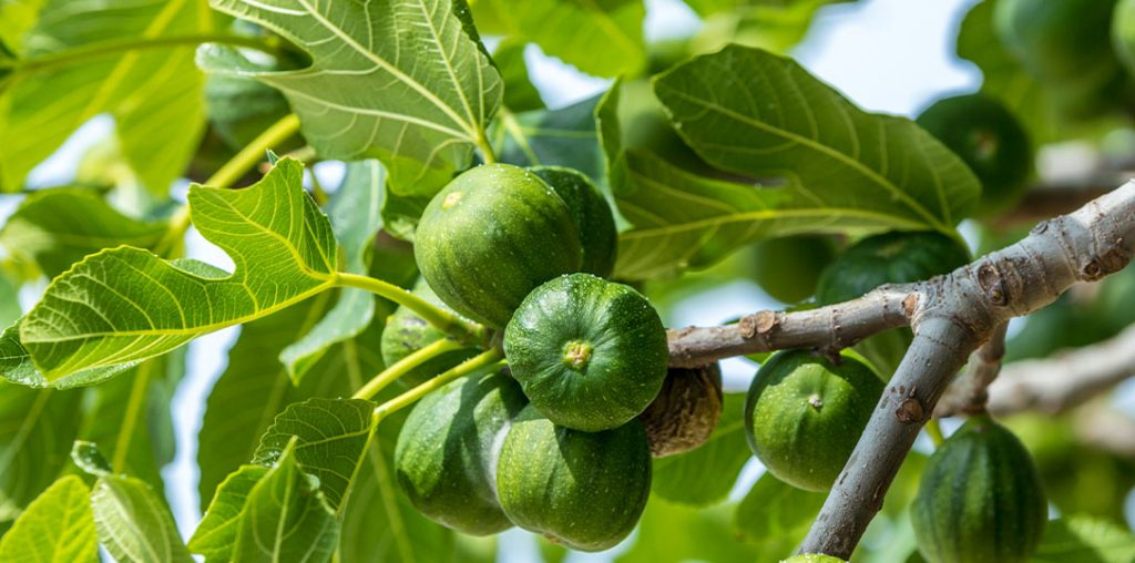 figs growing on tree ted lare design & build