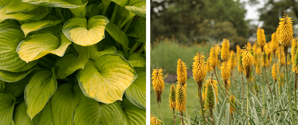 hosta and red hot poker yellow flowers ted lare design & build