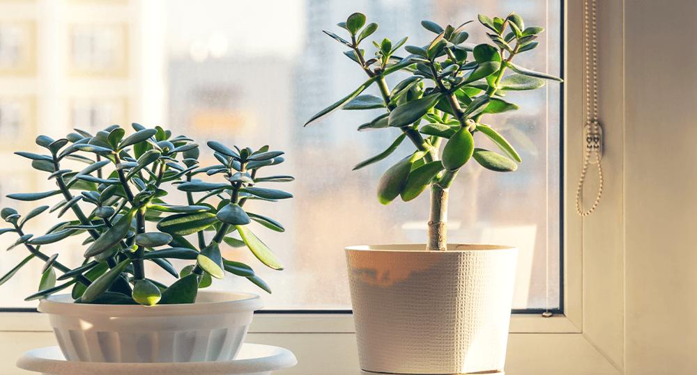 jade plants ted lare design & build