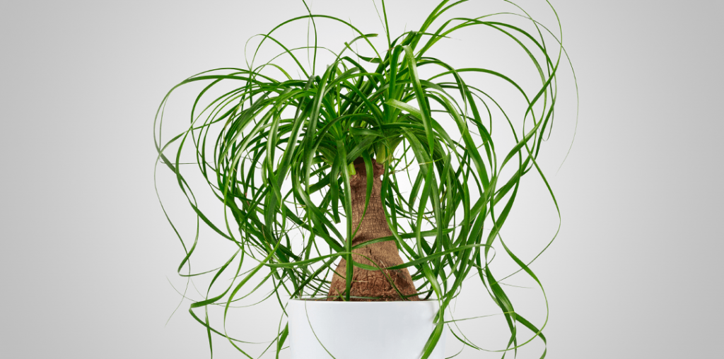 ponytail palm houseplant ted lare design & build