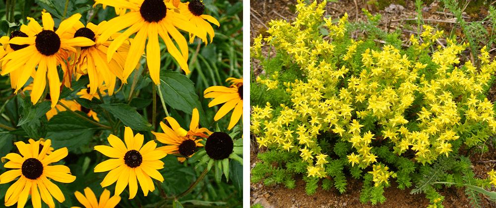 rudbeckia and sedum plants