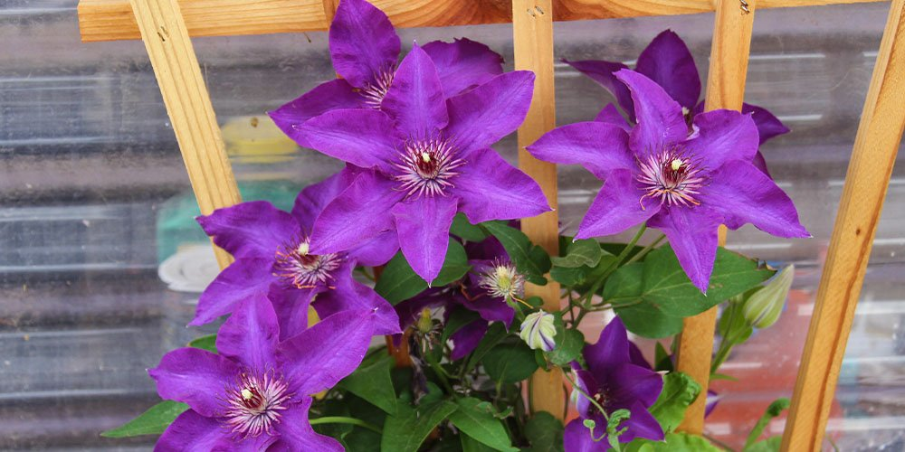 Clematis climbing plants for Iowa