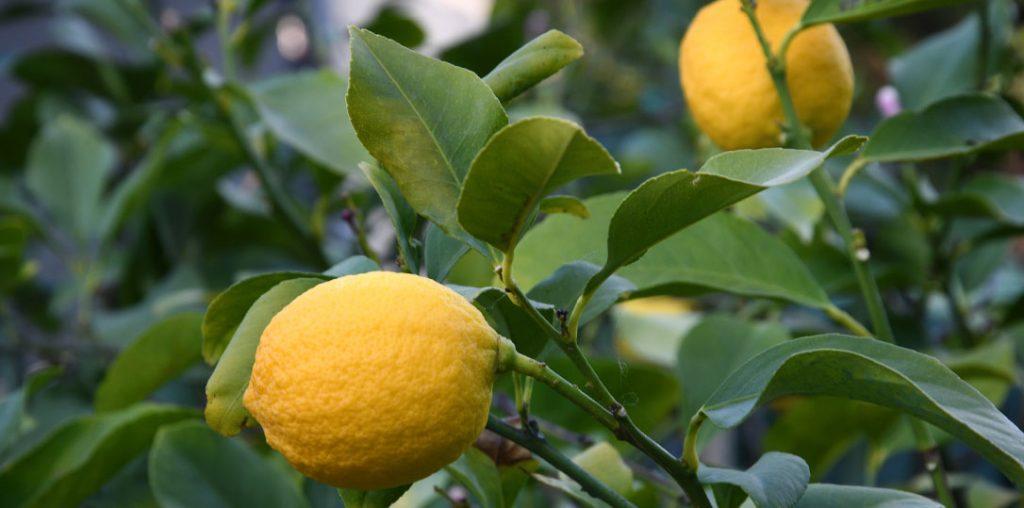 Growing edible Meyer lemons indoors
