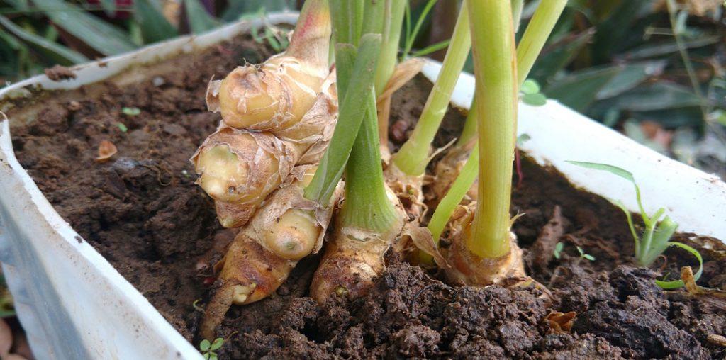 Growing Edible Ginger Indoors