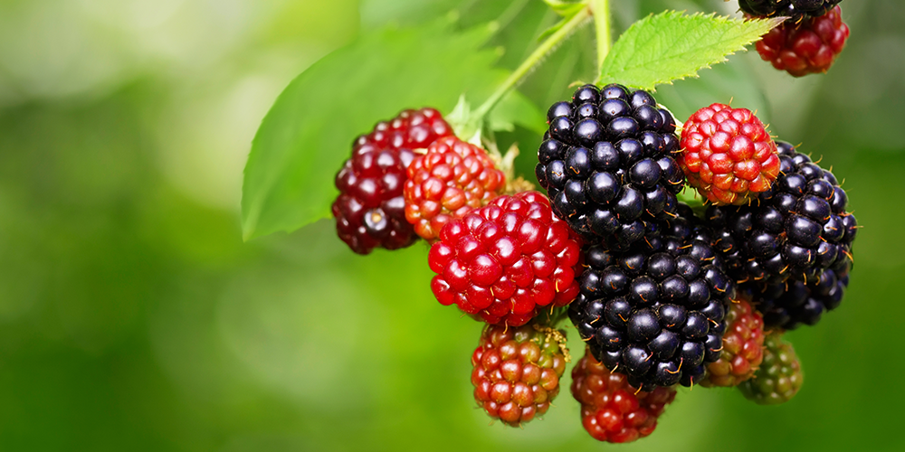 Berry bushes