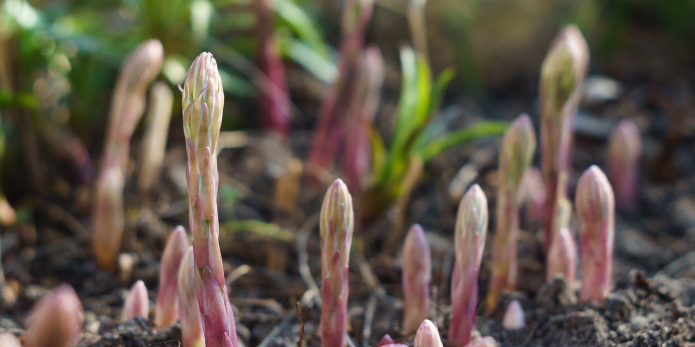 Growing perennial asparagus