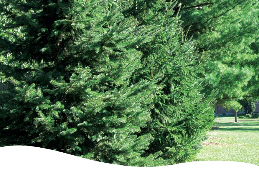 evergreen trees ted lare design & build