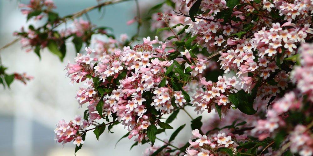 beautybush shrub