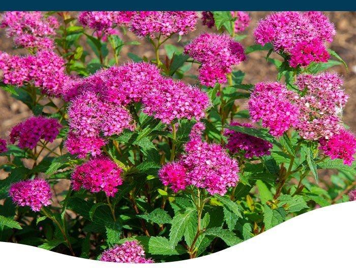 spirea shrub