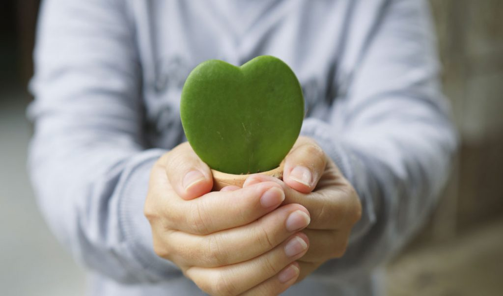 hoya kerrii heart plant ted lare design & build