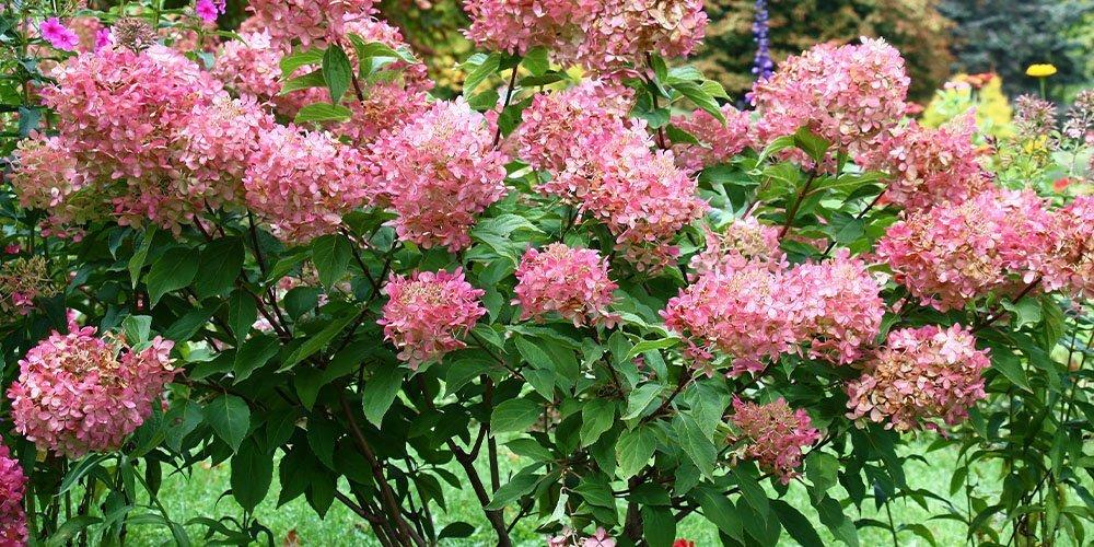 pink hydrangeas ted lare design & build
