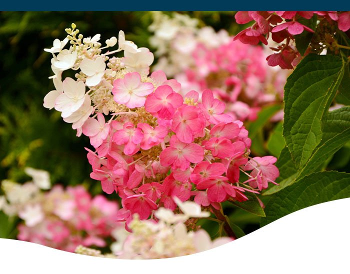 pink panicle hydrangea ted lare design & build