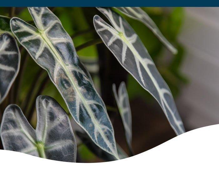 alocasia sanderiana ted lare design & build