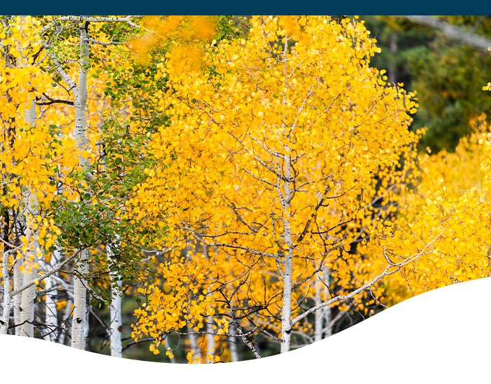 birch tree fall colors ted lare design & build