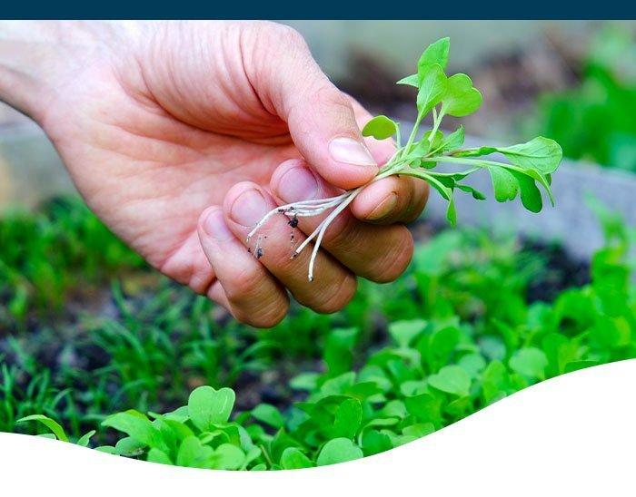 harvesting microgreens indoors ted lare design & build
