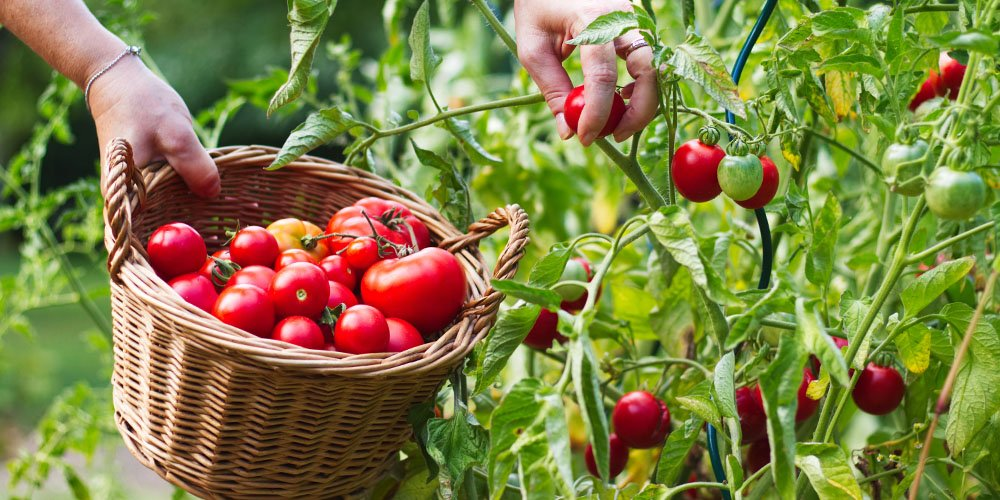 picking tomatoes for harvest ted lare design & build