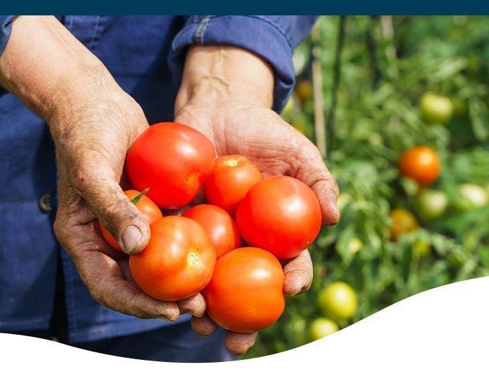 tomato harvest in hands ted lare design & build