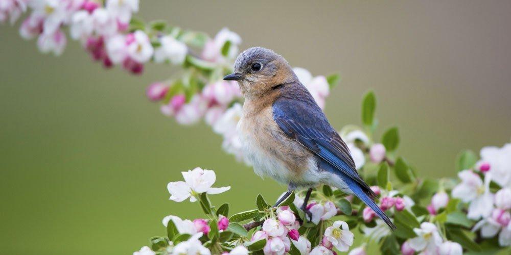 bluebird on crabapple tree ted lare design & build