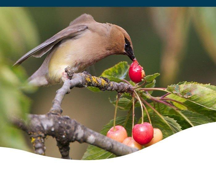 bird eating cherry ted lare design & build