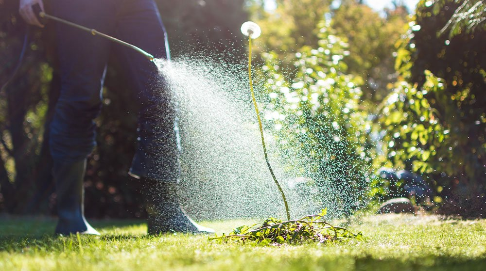spraying the lawn for weeds Ted lare garden center