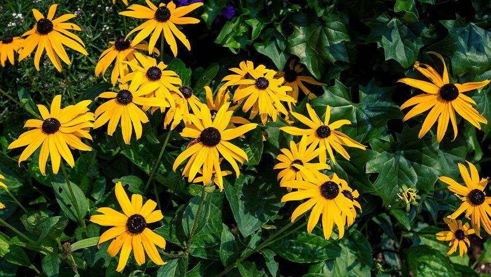 black eyed Susan flowers ted lare design & build