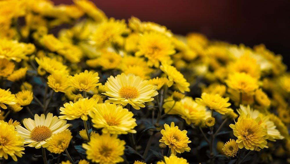 yellow chrysanthemum flowers ted lare design & build