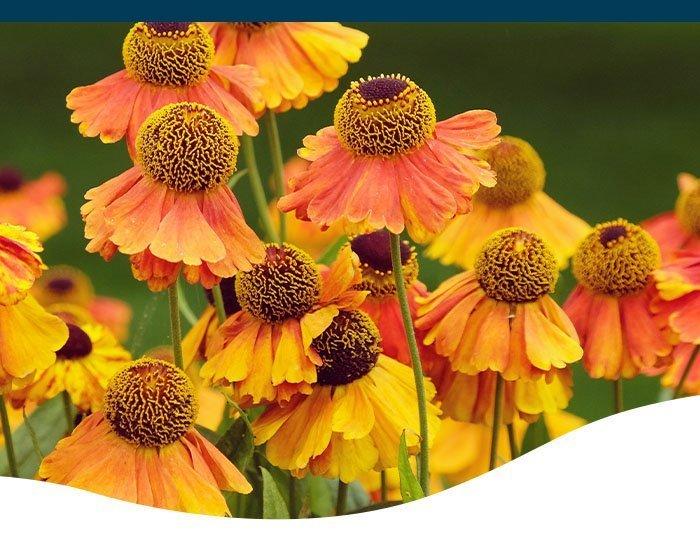 sneezeweed flowers ted lare design & build