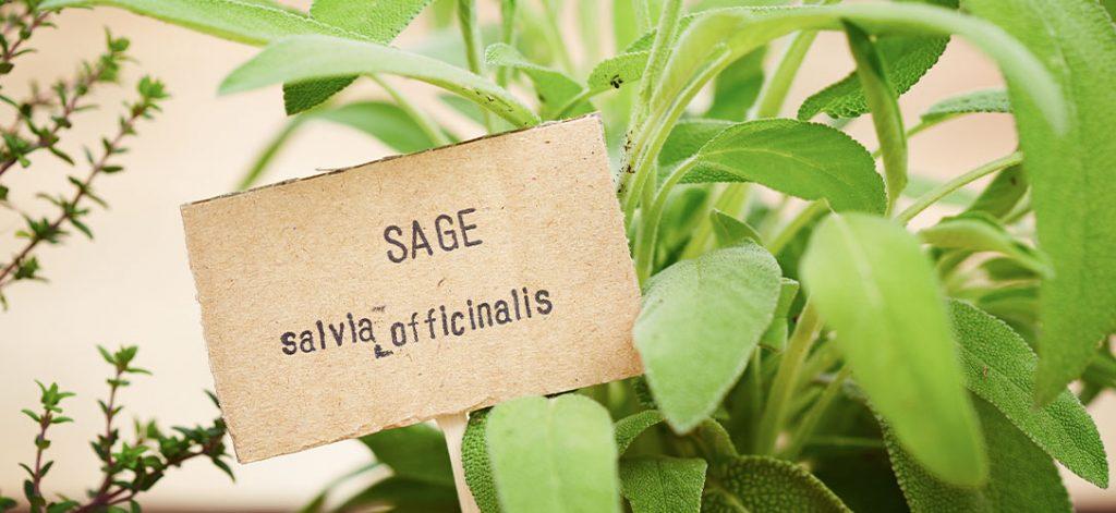 ted lare garden center sage plant