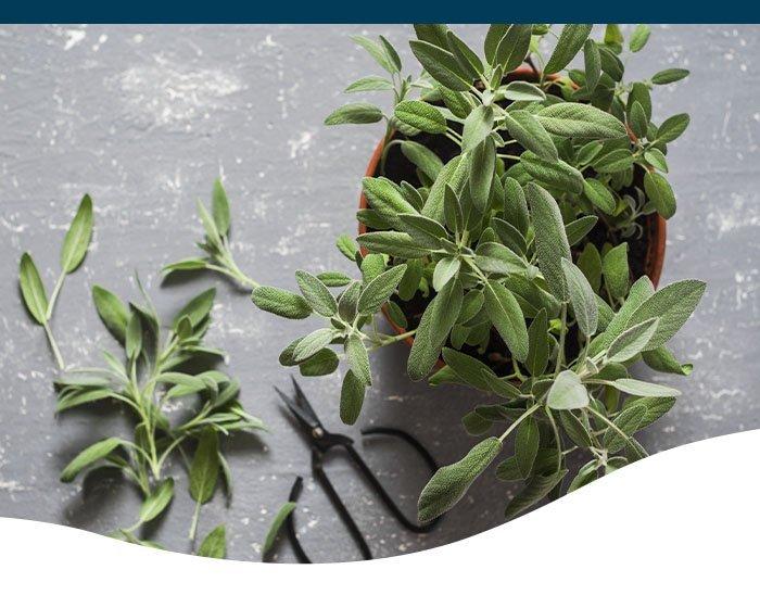 sage indoor plant herb Ted Lare garden center