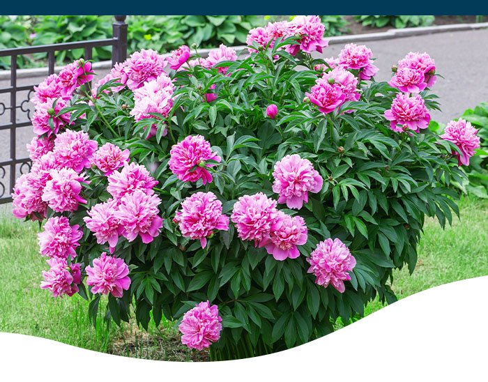 Ted Lare pink peony bush in yard