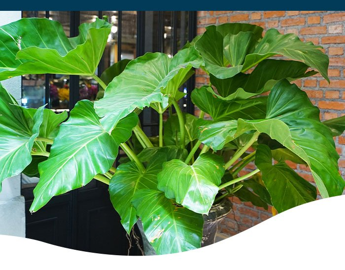 Ted lare garden center elephant ear plant